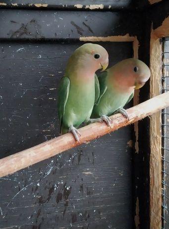 Nierozłączki czerwonoczele papugi