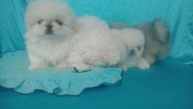 продам щенка пекинеса белого мальчика с документами КСУ FCI