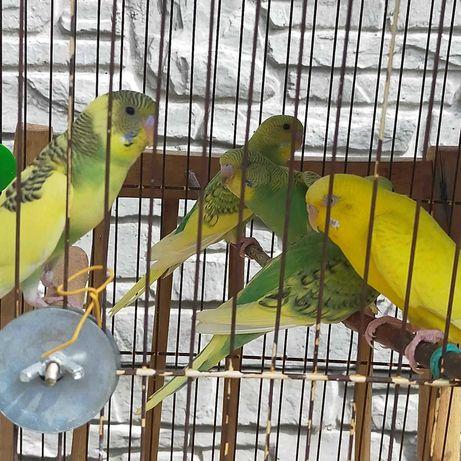 Волнистые попугайчики (птенцы)