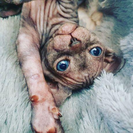 Moje fasolki szukają najlepszych domów - kociaki sfinks