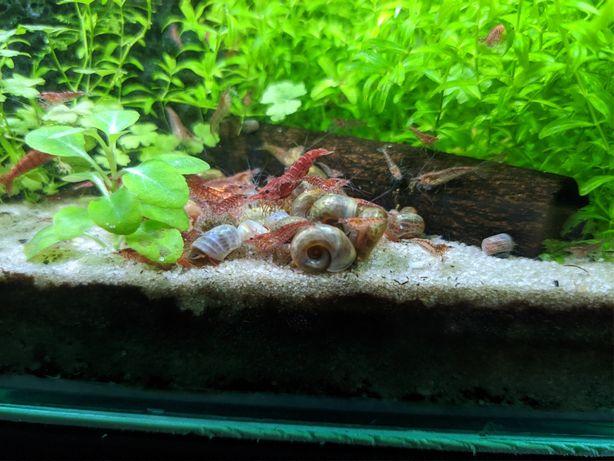 Zatoczek ślimak akwariowy