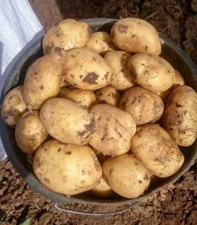 Продам Молоду Картоплю сорт Рів'єра