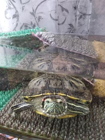Большая красноухая черепаха (мальчик)