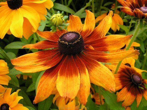 Rudbekia owłosiona bicolor nasiona