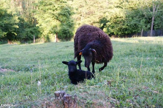 Owce wrzosówki - jagnieta