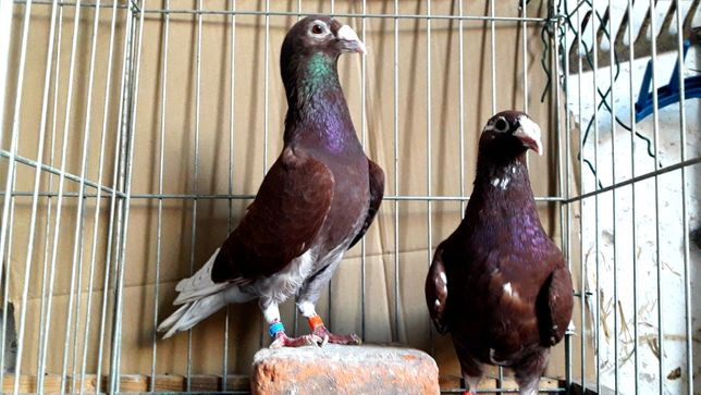 Gołębie pocztowe Staropolskie czerwone lot