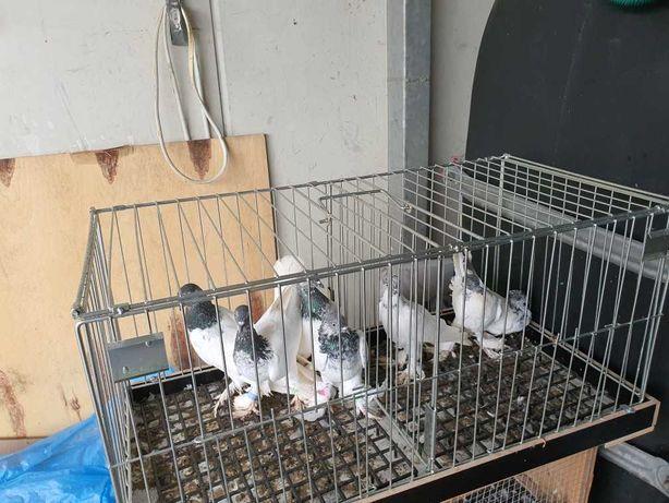 Sprzedam Gołębie Budapeszty Kosmate