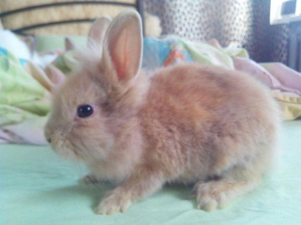 Кролик миник