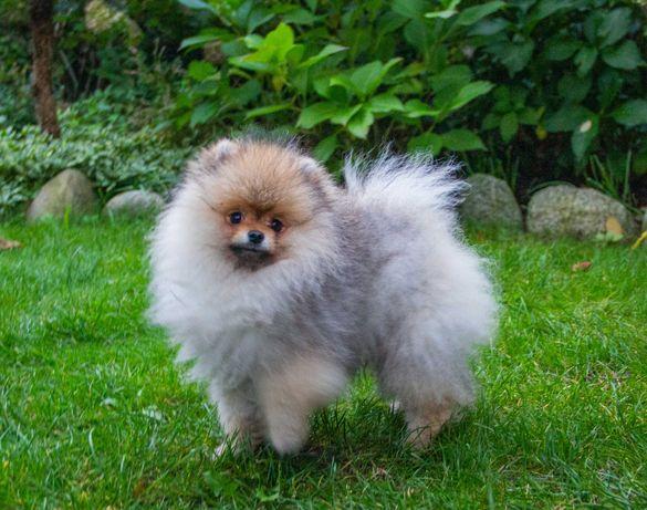 Szpic Miniaturowy Pomeranian FCI