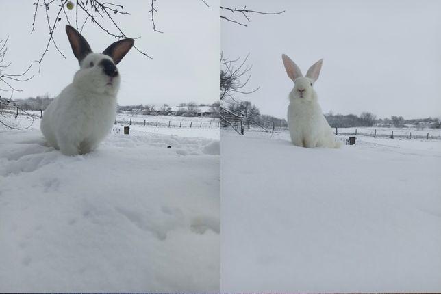 Кролики, мясо кролика білий панон та каліфорнійці