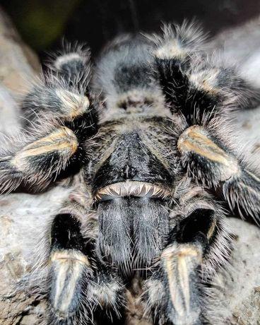 полосатый птицеед начинающему-паук граммостола aureostreara/pulchripes