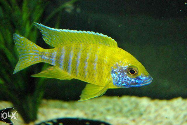 Pyszczaki akwarium Malawi duży wybór młode i podrostki super barwy