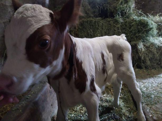 Продам теленка бычка