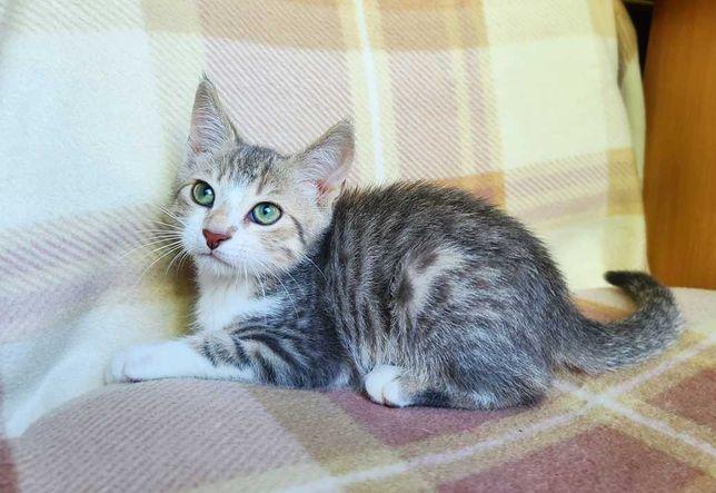 Декабрист, 3 мес- котишка в манишке - ищет дом! котенок кошка кот
