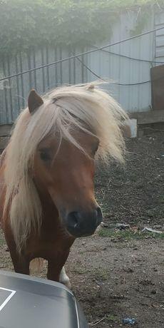 Шотландское пони