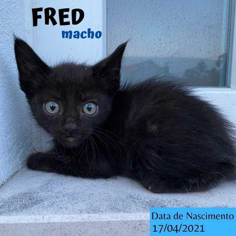 Gatinho 3 meses para adoção (Fred)