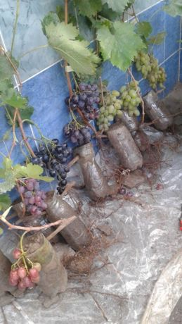 садженці винограду 30грн, саженцы винограда 30 грн