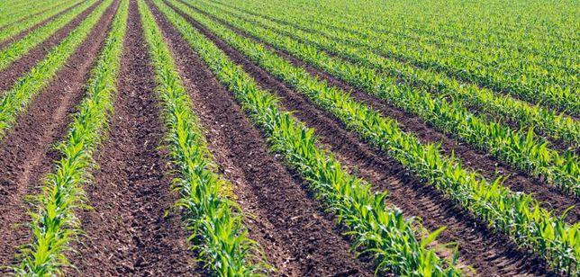 Czyszczone ziarno kukurydzy