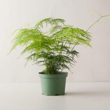 Planta Plumosa Asparagus