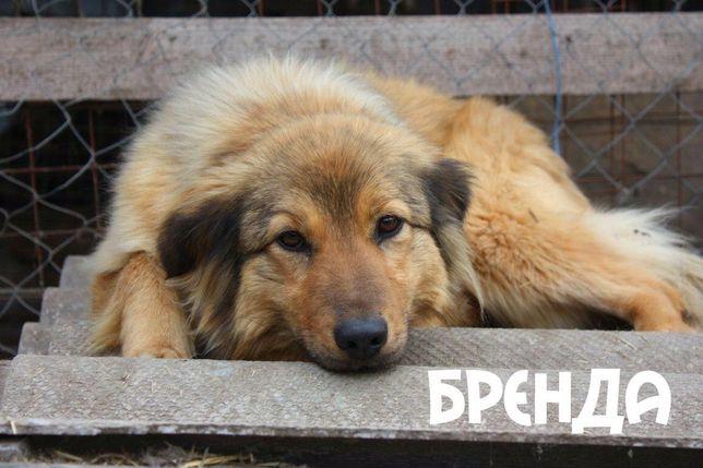 Собака Бренда срочно ищет дом и любящую семью