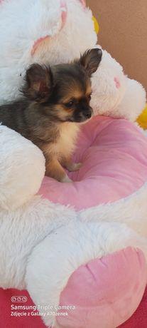 Chihuahua długowłosy piesek