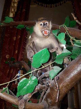 Чучело обезьяны