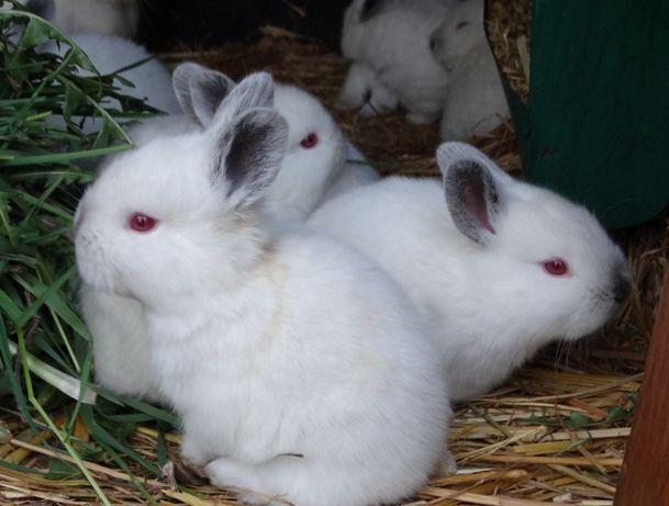 Króliki kalifornijskie - młode samce i samice