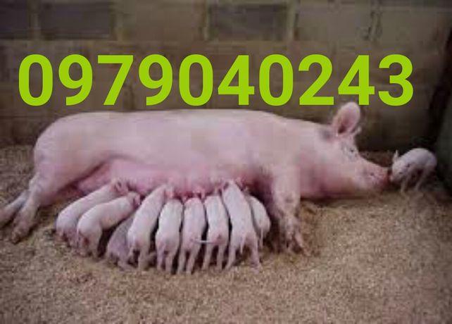 Свині поросята 2500/шт