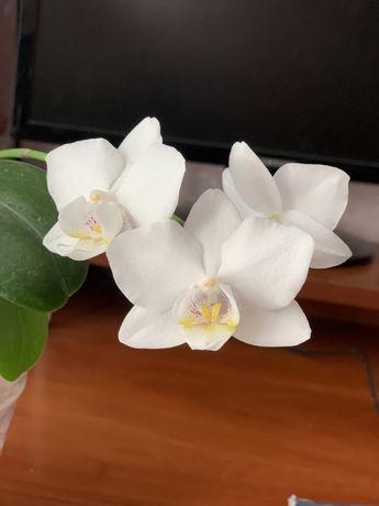 Орхидея белоснежная