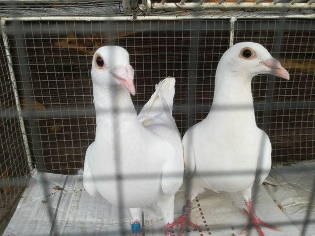 Gołębie ozdobne białe pocztowe