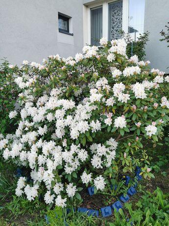 Rododendron kilkunastoletni ponad 1.5 m