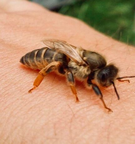 Плідні Бджолині матки. КАРНІКА Тройзек, Скленар 2021г. Продуктивні.