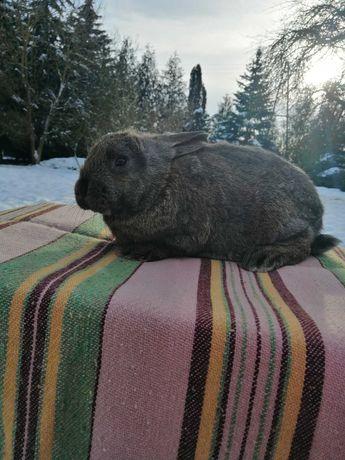Młode króliki mieszańce na sprzedaż!!!
