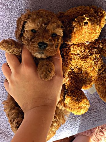 Maltipoo Teddy Original America