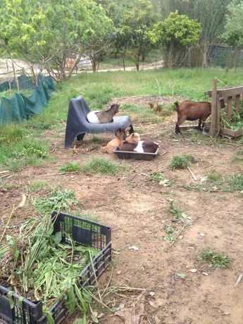 Cabras micro-anãs