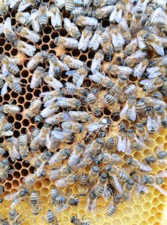 Пчелинные Матки Степной Украинской Продам 2021 г. Меченые и Плодные
