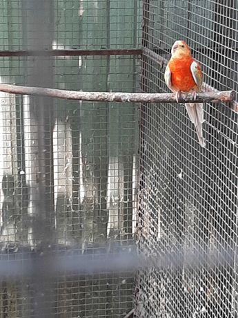 певчие/співочі попугаї