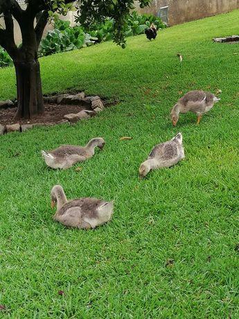 Gansos toulouse, patos reais, Corredores e garnizas
