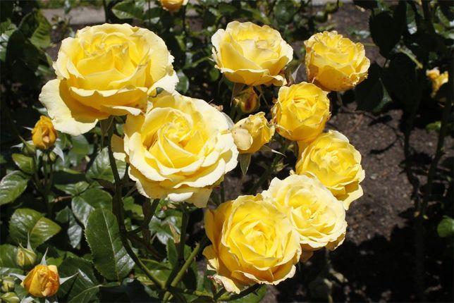 Саженцы плетистой розы крупно-цветковой Голден Шауэрс