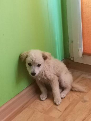 Piesek akita biały  Szczeniak 6tyg