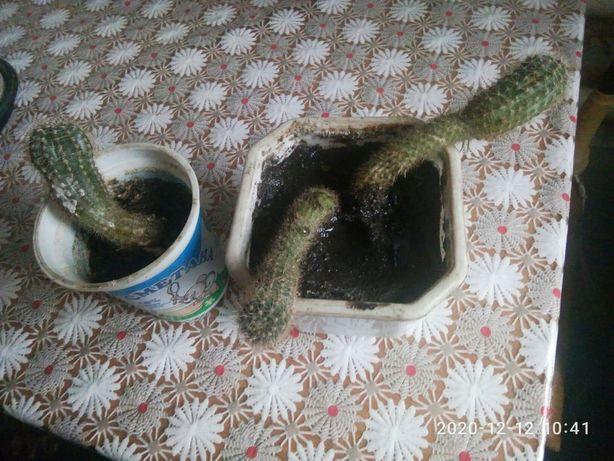 продам кактусы под пересадку