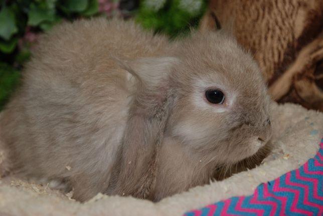 Голландский вислоухий кролик баранчик