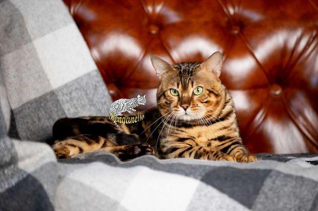 Бенгал яркий вязка, не метящий, бенгальский кот на вязку