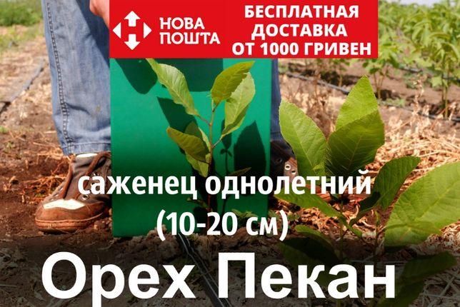 Пекан орех саженцы(однолетний) кария горіх саджанці (вкуснее грецкого)