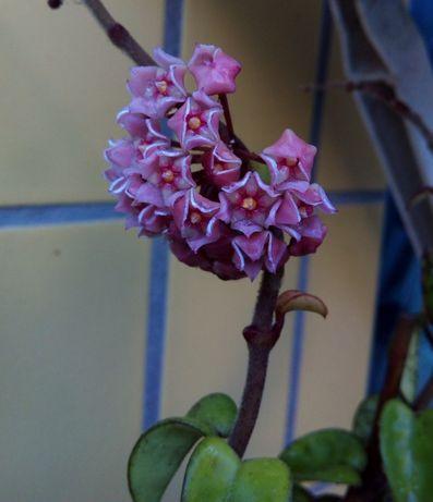 Hoya lilas planta