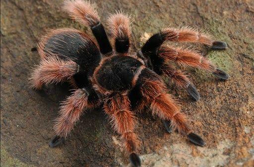 паук Brachypelma klaasi L 6 -7 самец