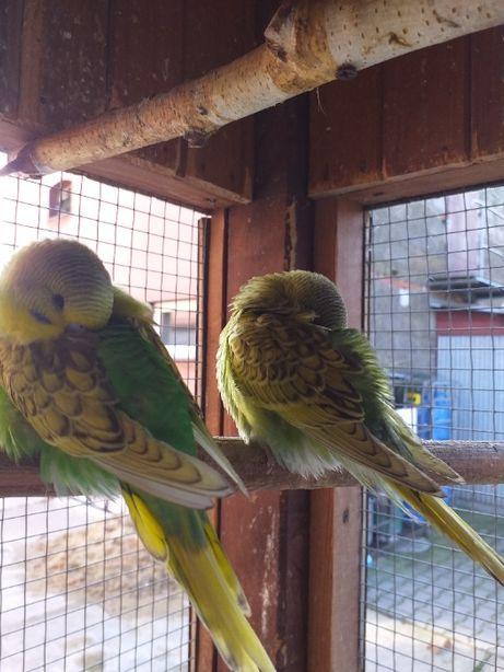 Sprzedam papugi faliste oraz nimfy