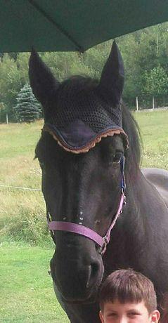 Klacz koń żrebna arabem siodło rekreacja bryczka hodowla szkółka
