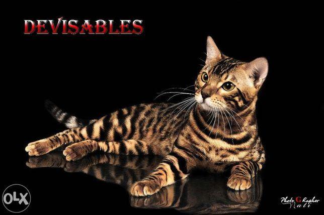 Бенгальский кот приглашает на вязку.