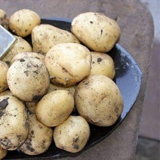 Картофель, картопля Ривьера на посадку